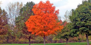 Image of tree with red leaves
