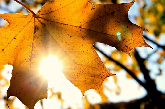 yellow maple leaf in the sun
